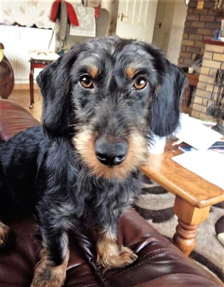 Llew ate sausages 'like a crocodile' on the journey home, said his owner.Picture: Arwel Thomas