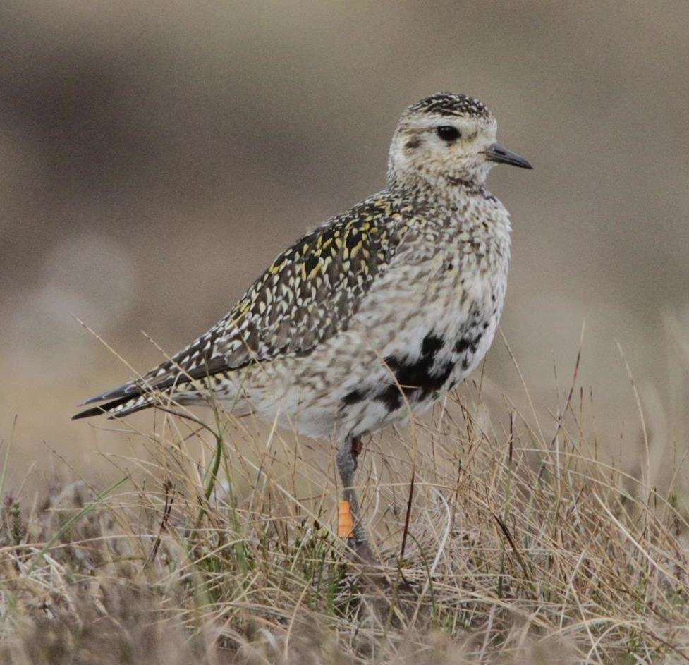 The golden plover is a protected species.