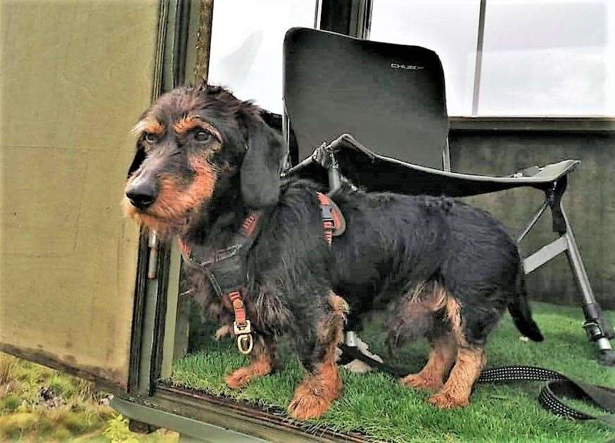 Llew the wirehaired dachshund went into 'survival mode' over the period of time he was lost.Picture: Arwel Thomas